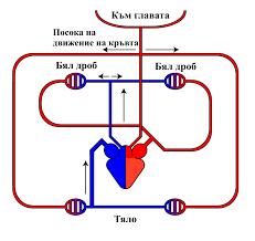Warm File Circulatory System Warm Blooded Bg Jpg Wikimedia Commons