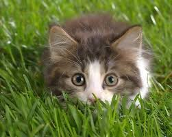 Small Wallpaper by Cat Breeds Maine Coon Free Wallpaper In Free Pet Category Cat