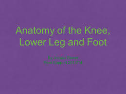 Anatomy Of The Knee Anatomy Of The Knee Lower Leg And Foot Ppt Video Online Download