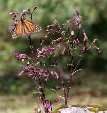 monarch butterflies a different of snowbird alaskawilds