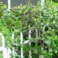 star jasmine on trellis star jasmine trachelospermum queensland gardening pages