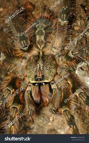 poecilotheria ornata fringed ornamental tarantula stock photo