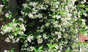 types of fragrant climbing plants gardens backyards and flower