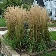 calamagrostis karl foerster drought deer proof ornamental grass