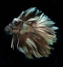15 list different types of betta fish with pictures betta