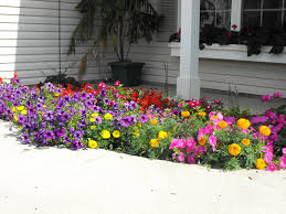 my front yard flower bed petunia impatience begonias and
