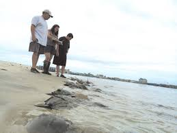 ocean city md halloween 2014 creature feature what u0027s the deal with horseshoe crabs