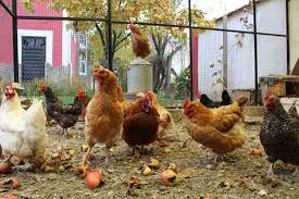 Can You Have Chickens In Your Backyard How To Choose The Right Breed Of Chicken For Your Backyard Coop