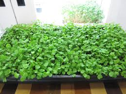 indoor herbs to grow how to grow arugula indoors urban cultivator