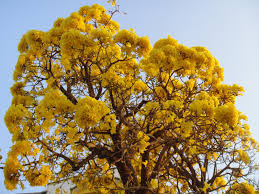 Yellow Flowering Trees - happiness all around us flowering trees in india