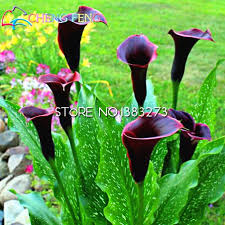 black calla popular black calla seeds buy cheap black calla seeds lots from