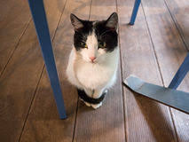 Cat Under Chair Cat Under Table Stock Images 374 Photos