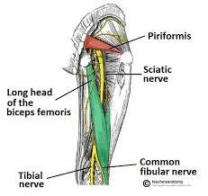 Bicep Innervation The Sciatic Nerve Course Motor Sensory Teachmeanatomy