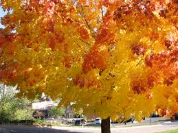 sugar maple tree acer saccharum beautiful autumn color and a