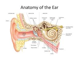 Inner Ear Anatomy And Physiology Hearing And The Ears Ppt Video Online Download