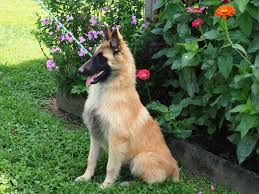 belgian sheepdog price in india aftershock belgians belgian tervuren puppies for sale