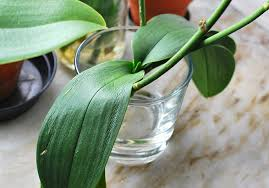 Orchids Care My Orchids U2013 Care Tips And Saving Sick Orchids Rags To Couture