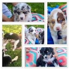 australian shepherd in california view ad australian shepherd puppy for sale california riverside