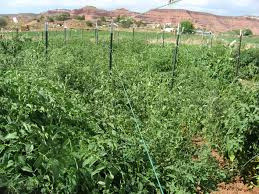 tying up tomato vines 2016 delectation of tomatoes etc