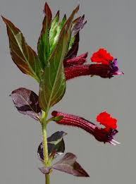 native plants of mexico bat faced cuphea plant u2013 tips for growing a bat face cuphea flower
