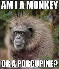 Funny Monkey Meme - funny monkey memes am i a monkey or a porcupine what am i