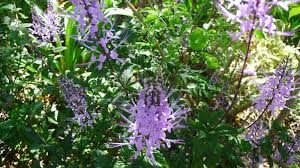 australian native plants with purple flowers lavender u0026 vanilla friends of the gardens the lovely cats whiskers