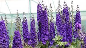 delphinium flowers wallpaper 1920x1080 delphinium flowers purple bright