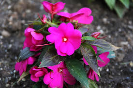 impatiens flowers new guinea impatiens flower annuals mostly