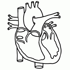 anatomical heart coloring page anatomical heart coloring page