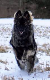 belgian sheepdog wolf hybrid the dire wolf project is a breeding program by the american