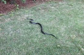 snake in my backyard part 16 snake slithers in maryland by