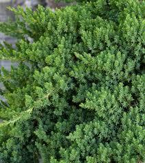 dwarf japanese garden juniper monrovia dwarf japanese garden