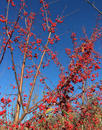 crabapples for winter interest knecht s nurseries landscaping