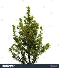 small spruce trees blue sale tree jeanbolen info
