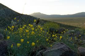 the anza borrego desert wildflower superbloom of 2017