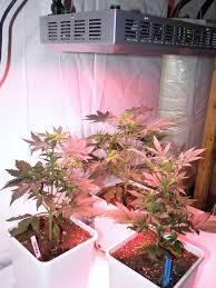 growing autoflower with led lights onyx test grow using 180 watt led grow light part 3