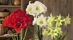 How To Grow A Bulb In A Vase Growing Bulbs Indoors Forcing Bulbs Forcing Indoor Forcing