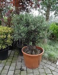 olive trees v designs