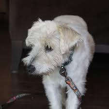 afghan hound rescue az american foxhound rescue arizona dog breed selector dog