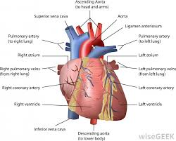 Dog Anatomy Organs Anatomy Of Left Atrium Image Collections Learn Human Anatomy Image