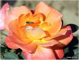 mardi gras roses orange flowers wallpaper tadka