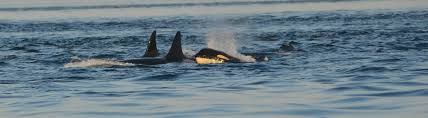 whale of a problem why do humpback whales protect other cosmos