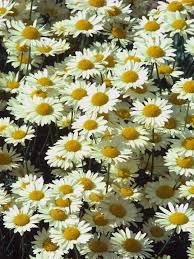 gazania treasure flower information the best flowers ideas