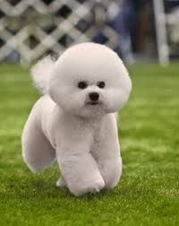 bichon frise instagram bichon frise the bichon frise is an incredibly cheerful little