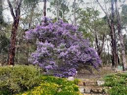 canberra native plants australian native shrubs gardening with angus