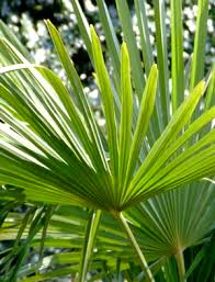 palm fronds for palm sunday palm sunday and holy week christians repent during days of