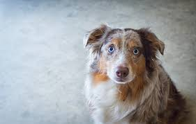 australian shepherd eye diseases australian shepherd dog breed answers