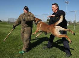 belgian malinois police great belgian malinois work k 9 unit in demo action training and