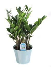 flowering house plants that start with c information about