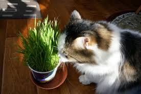 cats on the homestead growing wheat grass for the cats and dogs